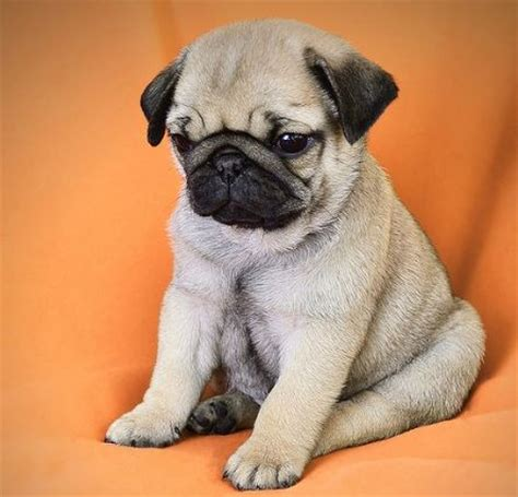 should i get a pug best 25 pug puppies ideas on