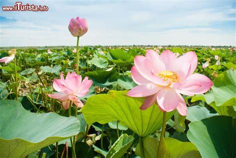 fiori di loto mantova la fioritura dei fiori di loto a mantova con i barcaioli