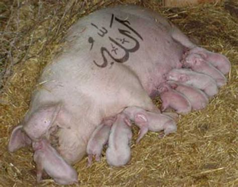Cmon Ladiesbe Pigs by China 22 Tons Of Pig Sold As Halal To Muslims Bare