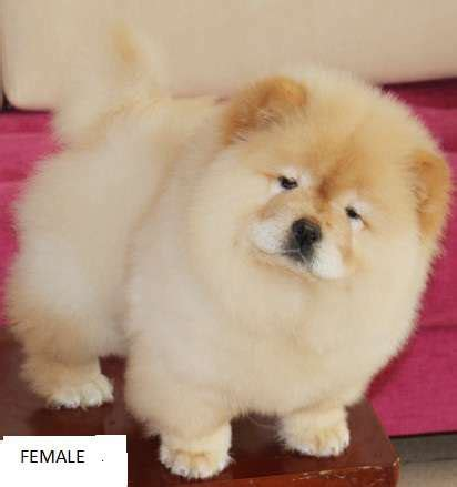 chow chow puppies for adoption chow puppies for sale quotes