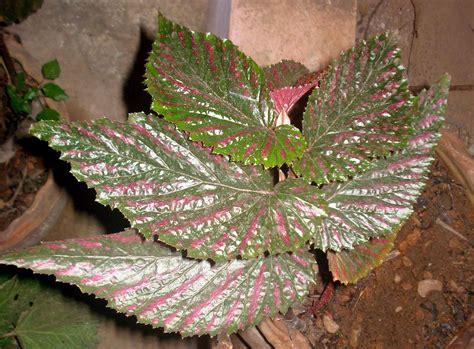 Begonia Planters by File Begonia Plant 17 Jpg