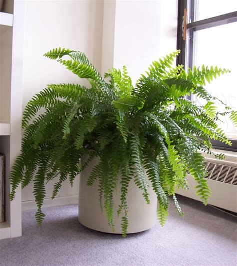 boston fern indoor plant in the white pot stunning indoor plants martha moments the fortunate fern