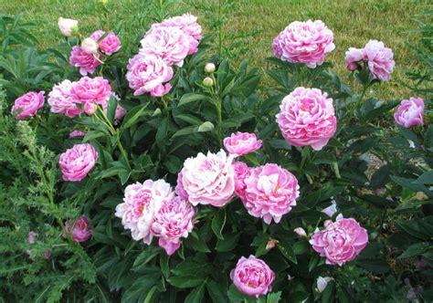 Peony Garden by Peonies Garden Bloom Day