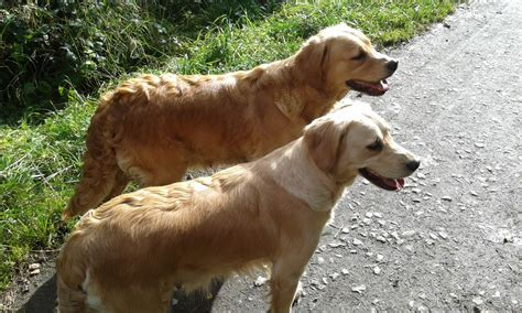 kennel club golden retriever puppies for sale kennel club registered golden retriever puppies crook county durham pets4homes