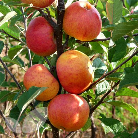 cost of fruit trees the selborne collection 4 half price fruit trees