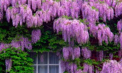 wisteria color wisteria colour www pixshark images galleries with