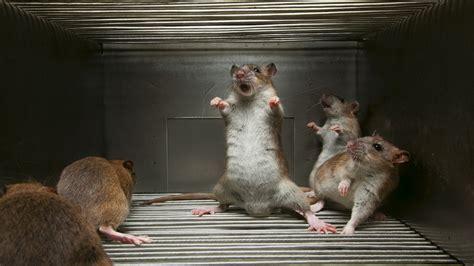 cat rat wallpaper rats wallpapers fun animals wiki videos pictures stories