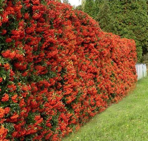 prezzi siepi da giardino siepi da giardino siepi caratteristiche delle siepi da