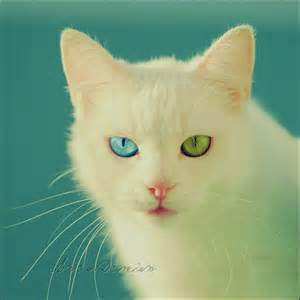 cats with different colored cats with different eye colors not photoshopped