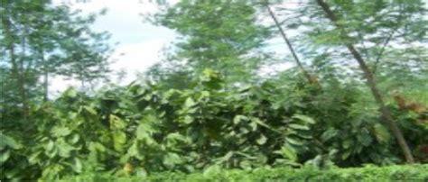 Obat Pelindung Tanaman manfaat pohon pelindung pada tanaman kakao sigit01