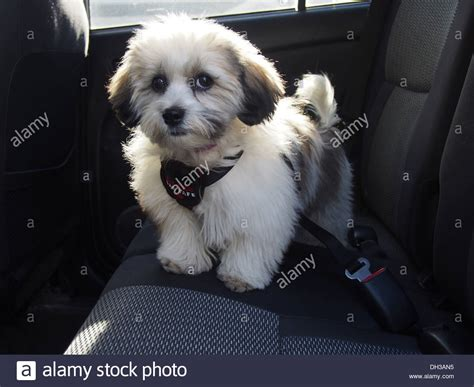 teddy shih tzu bichon puppies teddy puppy a k a zuchon mix of shih tzu and bichon frise stock photo royalty