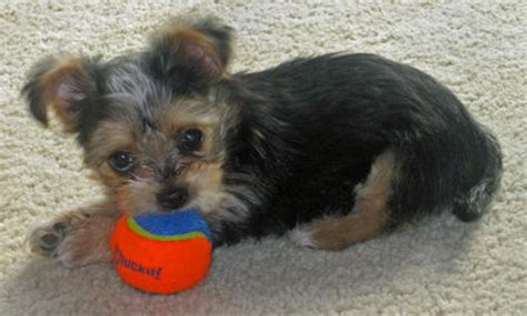 chihuahua and yorkie mix puppies all about the chorkie the yorkie chihuahua mix breeds picture