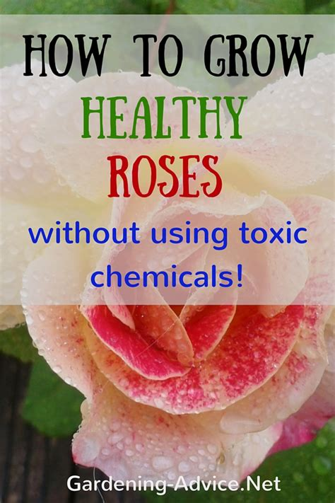 the care of roses without toxic chemicals