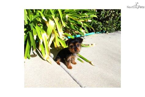 yorkie breeders san diego yorkie poo puppies for sale in san diego breeds picture