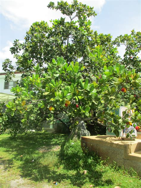 cashew factory travels with princess quiquinou - Cashew Nut Fruit Tree