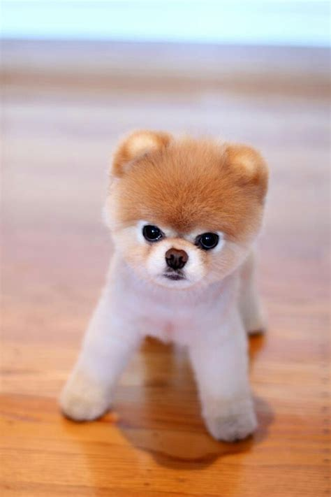 pomeranian boo breed boo the pomeranian photograph boo pomeranian