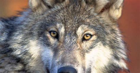 gray wolves gray wolf wallpaper  ipad  galaxy tab