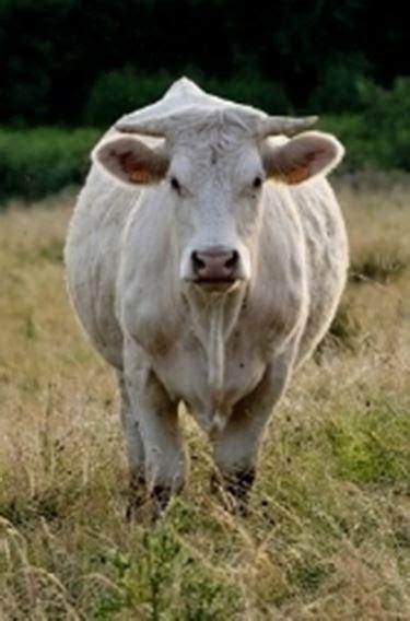mucca charolaise vacca charolais bovini