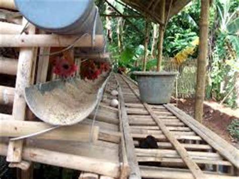 Bibit Ayam Petelor Siap Produksi ternak ayam petelur situs ayam bangkok 2018
