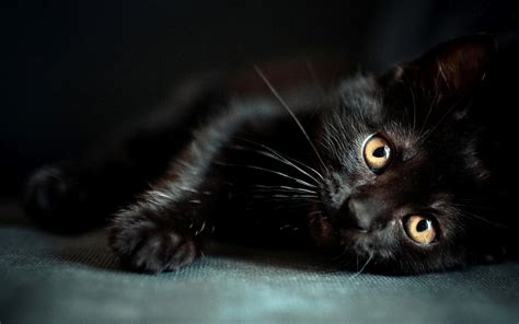black kitten wallpaper images for black cat wallpapers