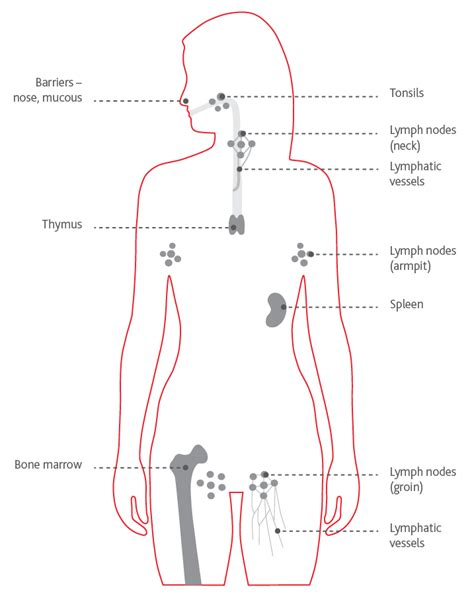 glands of the diagram lymph node chart images