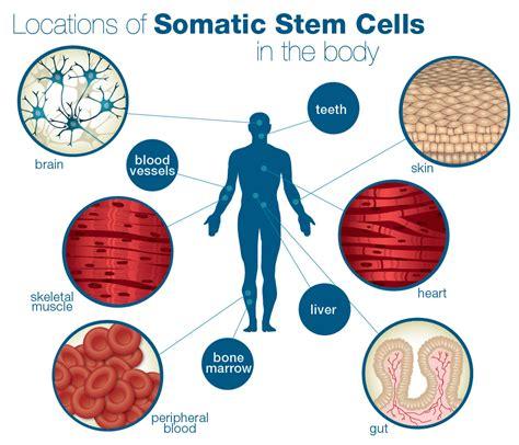 stem cells somatic stem cells