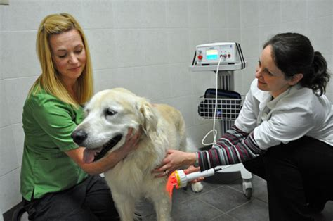 golden retriever limping on front leg new laser therapy at animal hospital animal hospital niagara falls