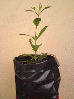 Benih Stevia stevia rebaudiana anak benih stevia terbaik di malaysia
