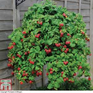 Planting A Raised Vegetable Garden - 17 best ideas about raspberry plants on pinterest growing raspberries raspberry canes and