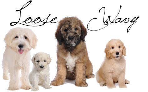 goldendoodle hair types goldendoodle coat types