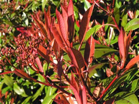 glanzmispel rubin glanzmispel photinia robin pflege und schneiden