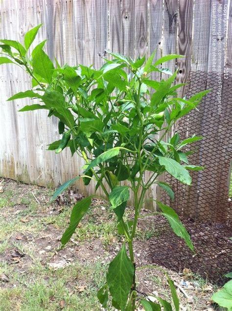 Gardening Help Beginner Gardening Help Identifying Pepper Plant 2 By