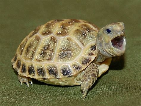 russian tortoises russian tortoises well started hatchlings and juveniles