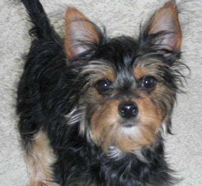 chorkie hair chorkie dog breed everything you need to know dog