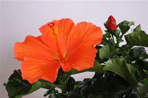 fiori hibiscus dropbox hibiscus fiori grande torino up jpg