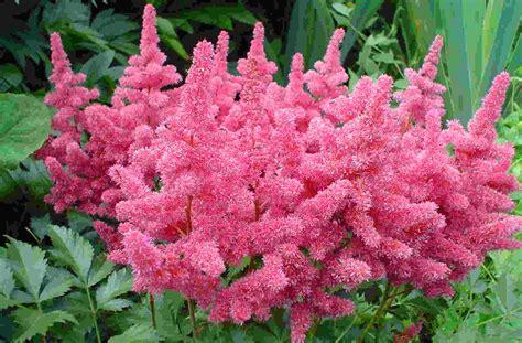 best flowers best flower s care astilbe