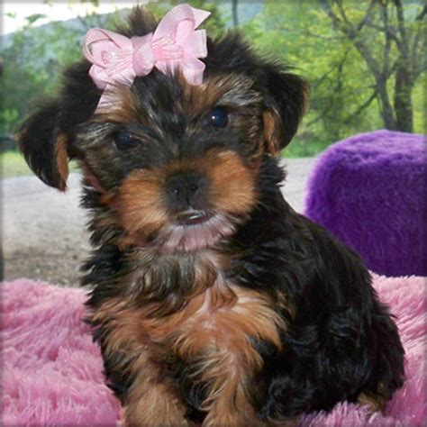 free yorkies in florida pets hialeah gardens fl free classified ads