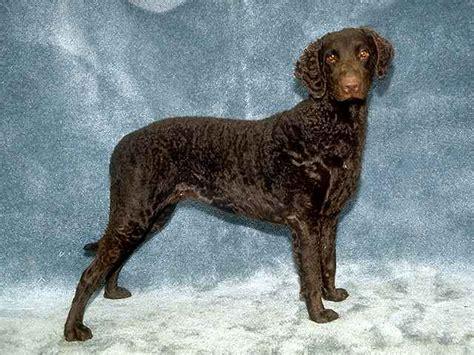 Curly Coated Retriever - Dog Breeds - Dog.com