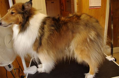 Smooth Collie Shedding by Collie Eldy S Shop Grooming