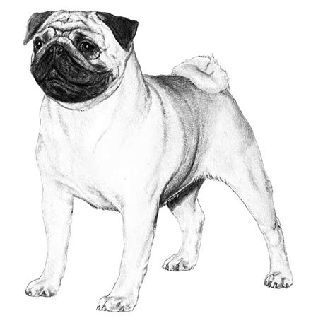 pug illustration pug breed information american kennel club