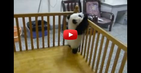 Baby Panda Climbing Out Of Crib by Escaping Baby Pandas Shareyourfreebies