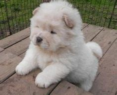 panda chow chow puppies for sale 1000 ideas about chow puppies for sale on chow chow for sale chow chow