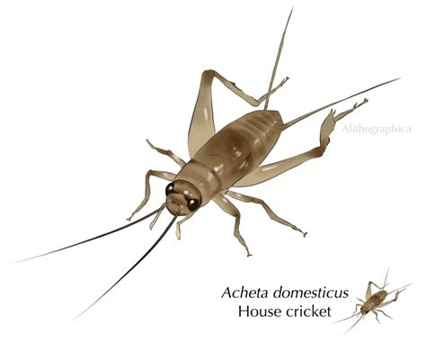 house cricket house cricket by alithographica on deviantart