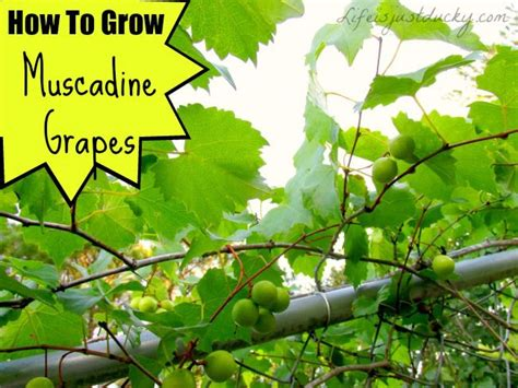 all about growing muscadine grapes how to plant growing muscadines pruning grape vines
