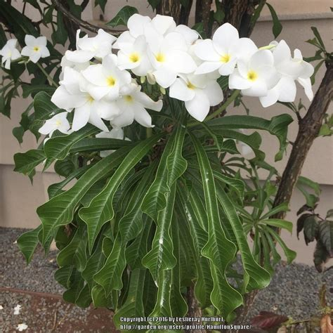plumeria pudica common name photo of the bloom of plumeria plumeria pudica posted by