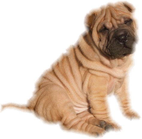 sharpay puppy graphics shar pei 310114 graphic gif