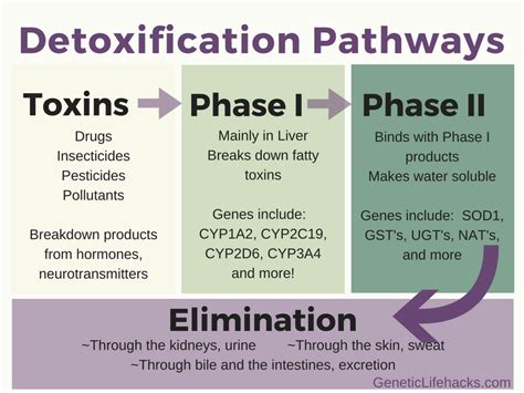 Supplements To Open Up Detox Pathways by Detoxification Phase I And Phase Ii Metabolism Is Genetic