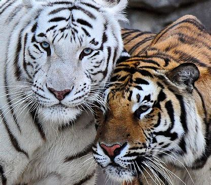animal bengal tiger chahinkapa zoo bengal tiger