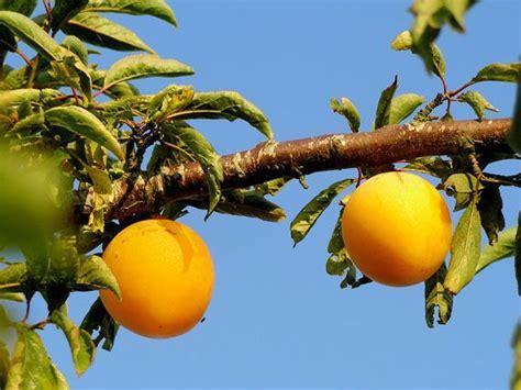 imagenes de flores que dan frutos verdeesvida frutales autopolinizantes los que dan