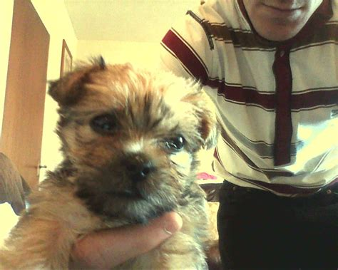 shih tzu mixed with yorkie for sale pug and yorkie type dogs breeds picture